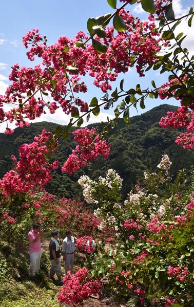 818サルスベリの花が見頃となり観光客の目を楽しませている=神流・百日紅園