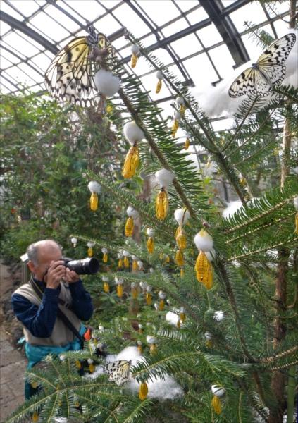 黄金色のサナギが飾り付けられたクリスマスツリー