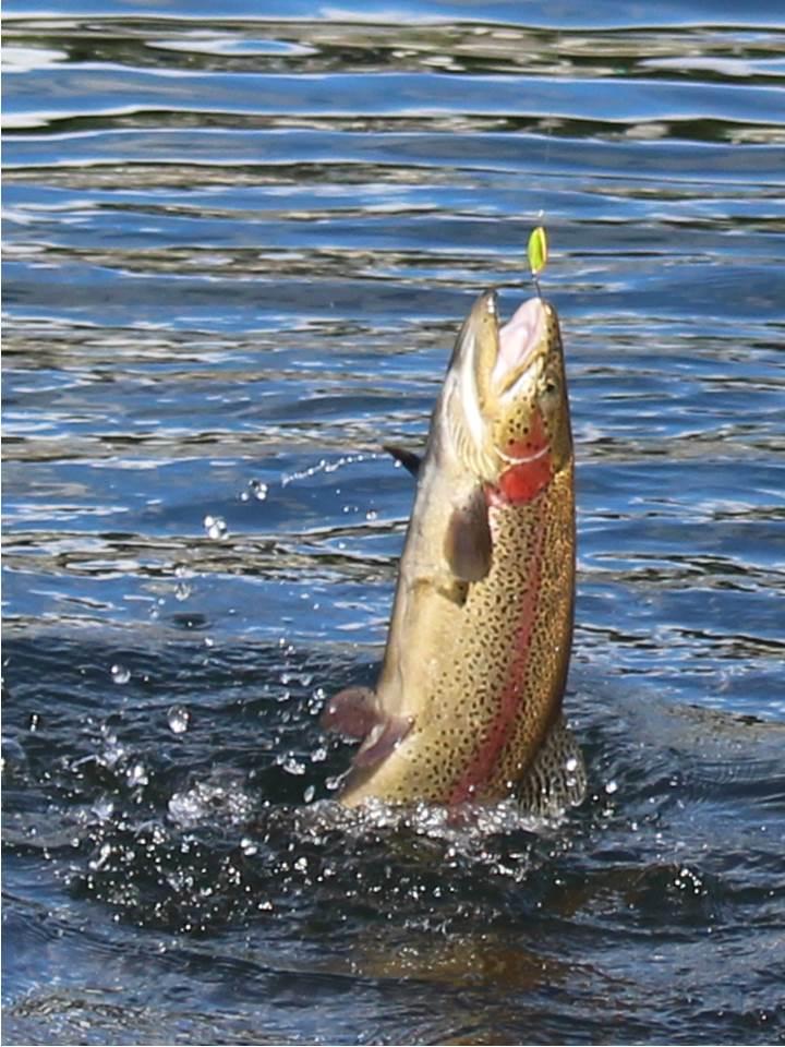 0111【資料写真】県が開発した釣り用ニジマス「ハコスチ」