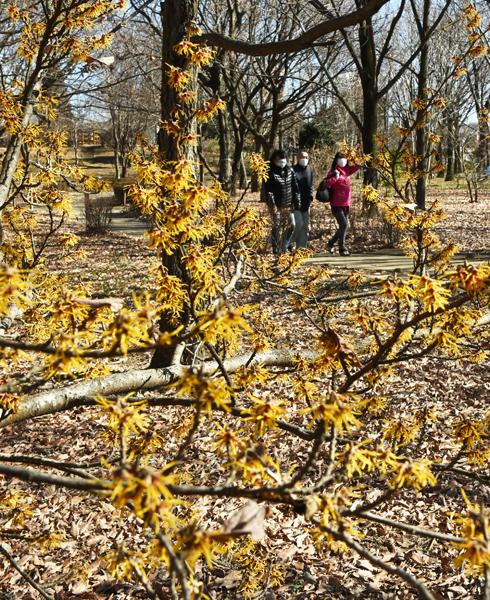 0215黄色いマンサクの花が一足早い春の訪れを告げている