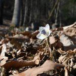 寒風に揺れながらかれんに花開くセツブンソウ=16日午前11時50分、佐野市柿平町、永嶌理絵撮影
