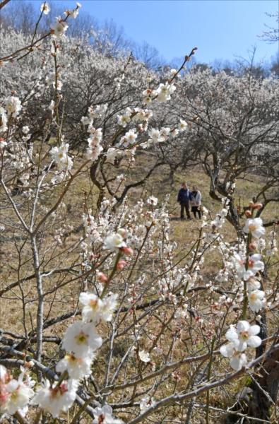 見頃を迎えた西渓園の梅=7日午前11時55分、足利市西宮町、山口達也撮影