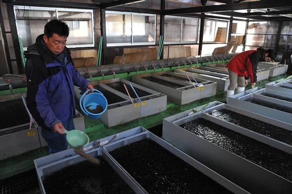 ヒメマスの稚魚に餌を与える中禅寺湖漁協職員。今季釣れる成魚は、2015年春に漁協が放流した稚魚の成長した姿だ=2月下旬、日光市中宮祠