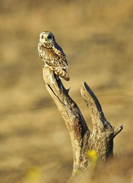 止まり木で羽を休めるコミミズク