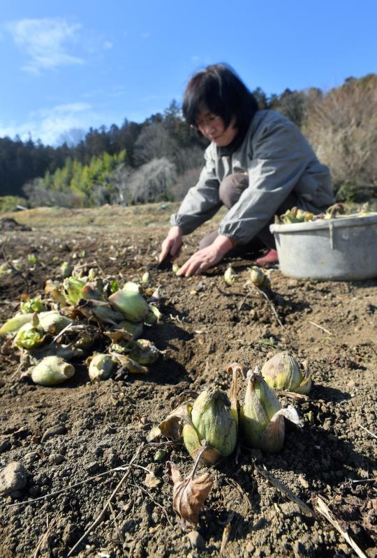 青空の下で行われたフキノトウの収穫作業