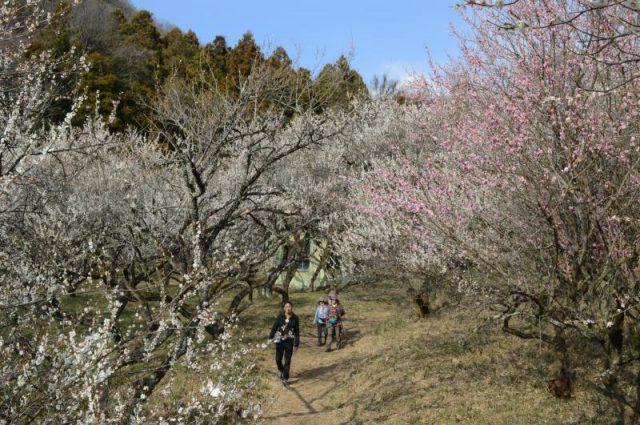 満開となった西渓園の梅