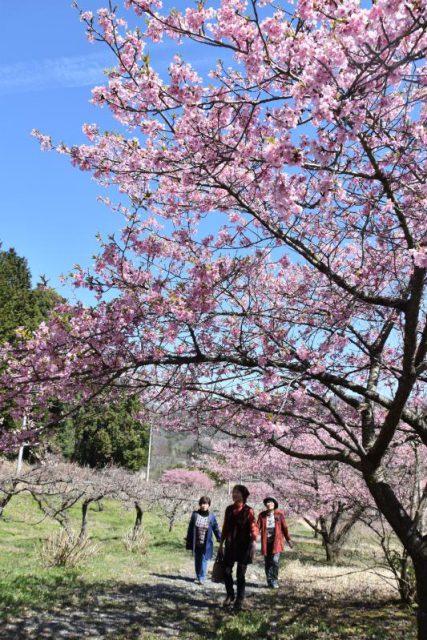 9年ぶりに満開となった仏生寺公園のカワヅザクラ