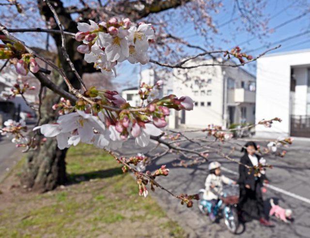 咲き始めた新川沿いの桜