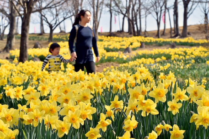 園内を黄色に染めるラッパスイセン