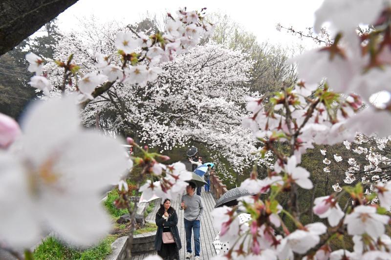 満開となった謙信平の桜