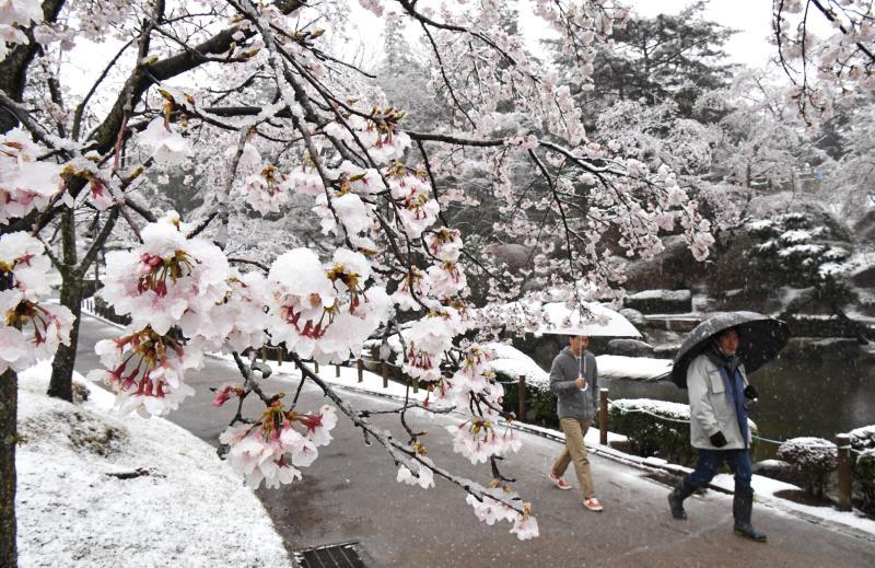 雪が積もり、幻想的な雰囲気となった桜