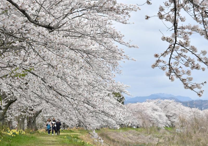 満開となった金崎の桜堤